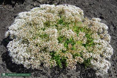 Sedum album 39 coral carpet 39 vetkruid c th van bergenhenegouwen bv online planten heesters - Sedum album coral carpet ...